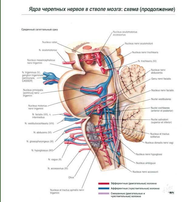 Нерв сосудодвигательный фото